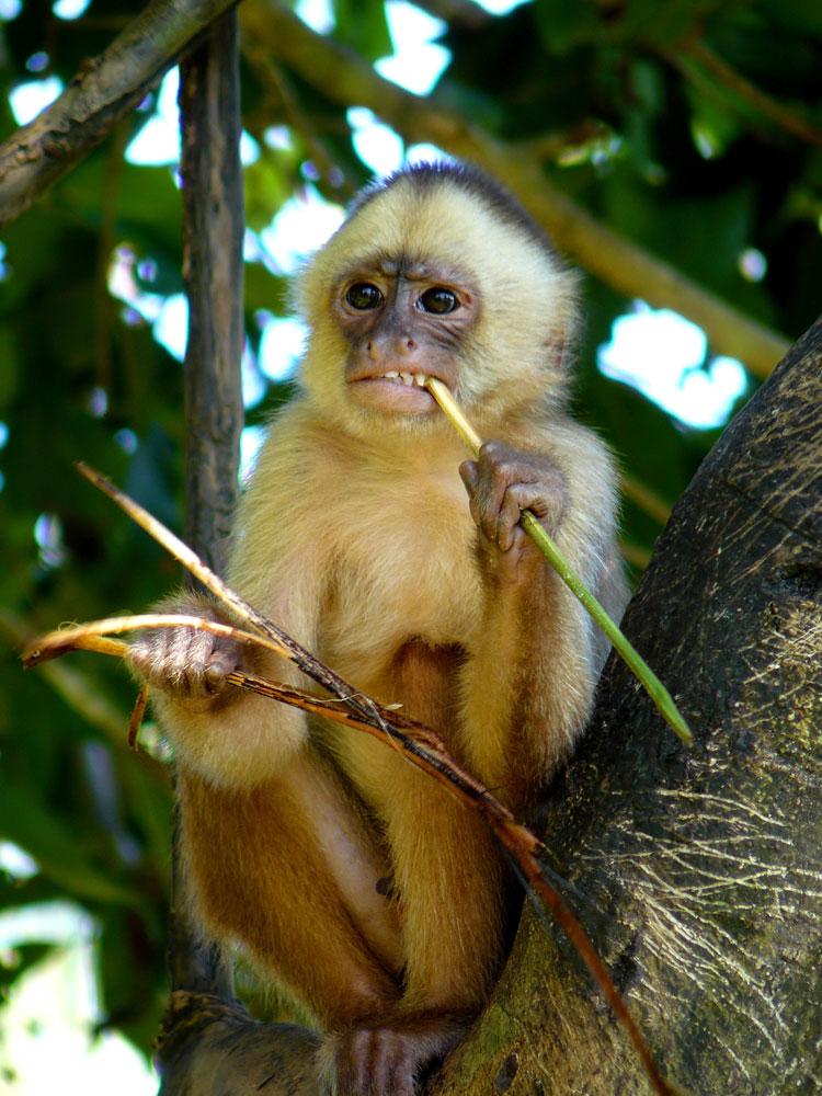 Fauna - Mono Capuchino de frente blanca