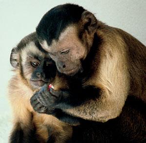 Fauna de Colombia, Mono Maicero